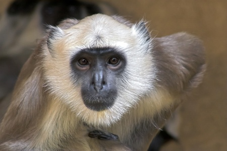 gray langur: Portrait of a langur looking very interested