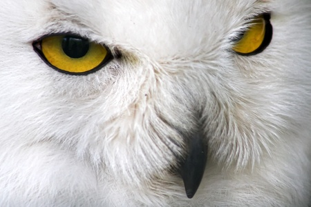 Close-up of a snow owl with yellow eyes Stock Photo