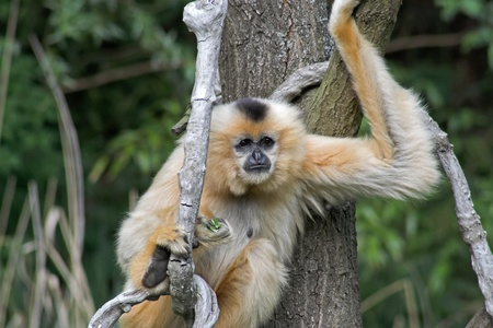 A gibbon on a tree with a green background Stock Photo - 11214266