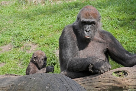 Gorilla with baby behind a trunk with a green background Stock Photo - 11214432