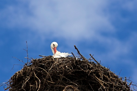A stork in the nest with a blue sky photo