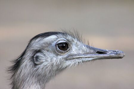 Portrait of an ostrich with a blurry background Stock Photo - 11214158
