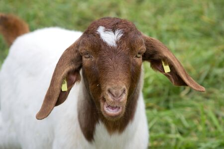 Portrait of a goat in a green meadow Stock Photo - 11214507