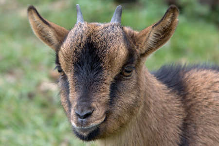 Portrait of a goat in a green meadow Stock Photo - 11214511