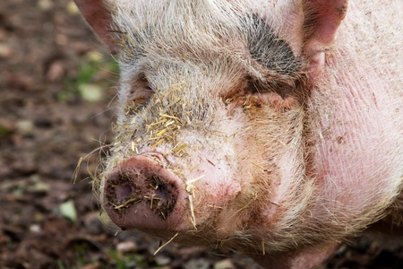 Portrait of a pot-bellied pig with straw around the nose photo