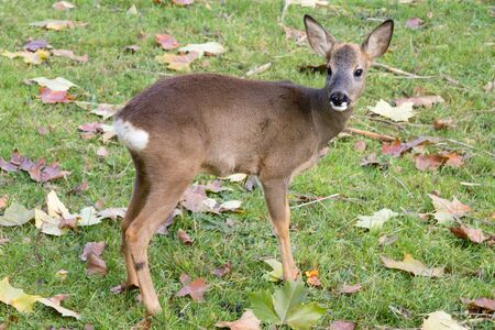A fawn in a green meadow with some fall leaves Stock Photo - 11214565