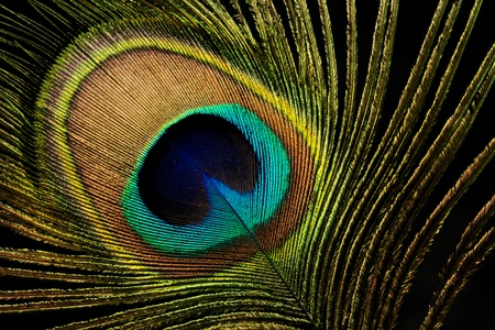 Closeup of a colorful peacock feather with a black background
