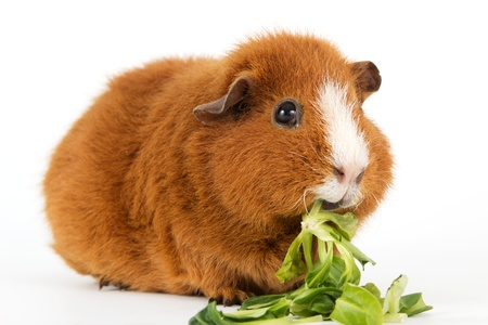 Brown guinea pig with salad in front of a white background