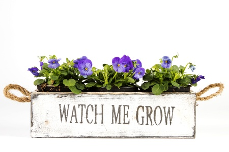 Old wooden box with violets over a white background Standard-Bild