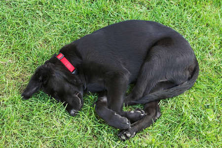 Young black dog sleeping on the grass photo