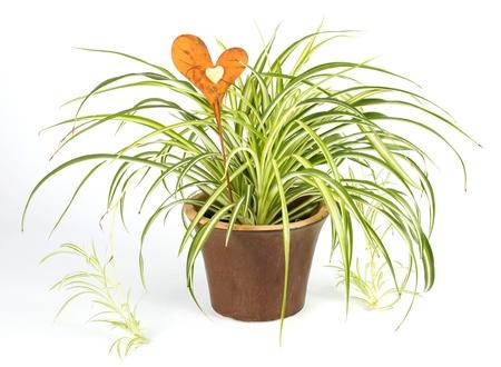 Grünlilie in einem braunen Topf mit einer Dekoration Herz über einem weißen Hintergrund Standard-Bild - 12900151