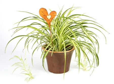 garden spider: Spider plant in a brown pot with a decoration heart over a white background