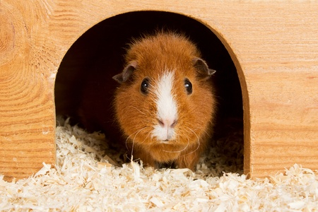 Portrait of a brown guinea pig looking out of a wooden house Stock Photo