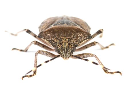 shield bug: Closeup of a bug over a white background