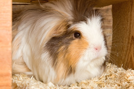 Portrait of a grey white guinea pig in a stable