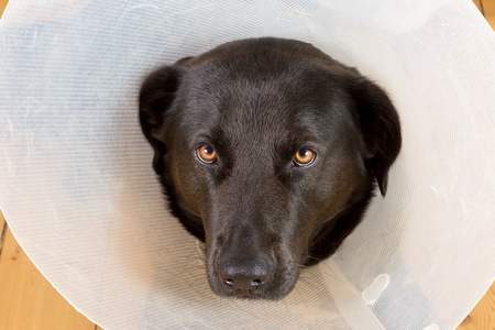 Portrait of a sad black dog with a plastic funnel photo