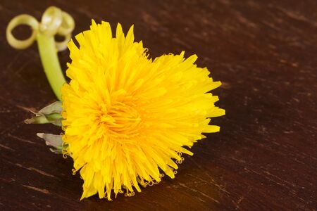 Yellow blooming heart shaped dandelion over a wooden background photo