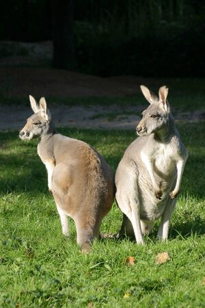 Two grey kangaroos in the meadow in the sun Stock Photo - 13516530