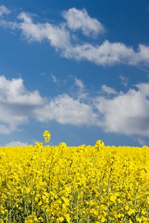 Bright yellow rape field with shallow depth of field in front of a blue sky with clouds