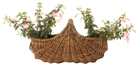 Two flowers in a brown basket over a white background photo