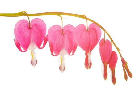 Closeup of the blossoms of a bleeding heart over a white background photo