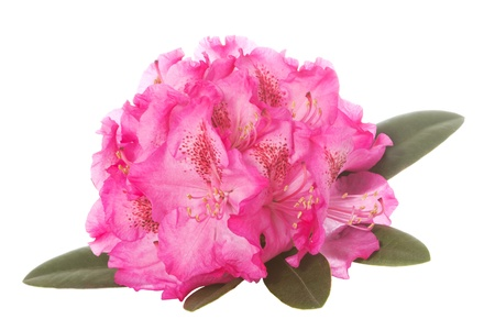 Pink blossom of a rhododendron with green leaves over a white background Stock Photo