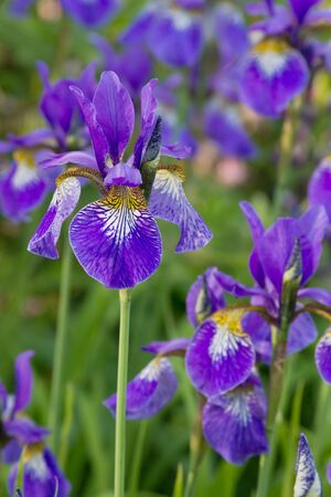 Many irises with purple blossoms with shallow depth of field photo