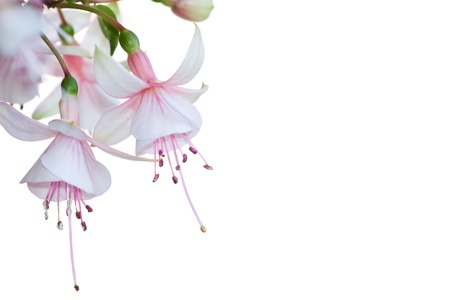 Closeup of the blossoms of a pink fuchsia flower over a white background