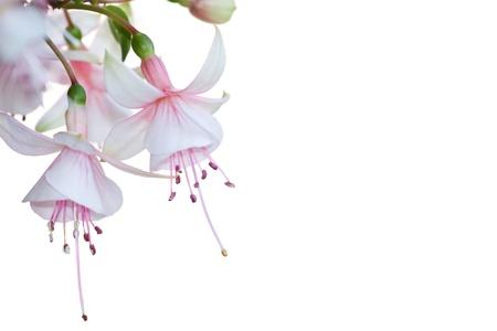 Nahaufnahme der Blüten von einem rosa Blume fuchsia über einem weißen Hintergrund Standard-Bild - 13946860