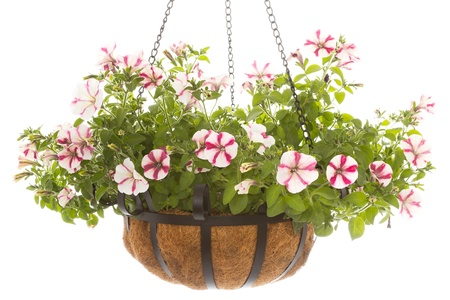 Hanging basket with a petunia over a white background photo