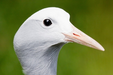 Closeup of the head of a blue crane in front of a green background photo