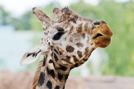 Closeup of the head of a giraffe Stock Photo - 14897755