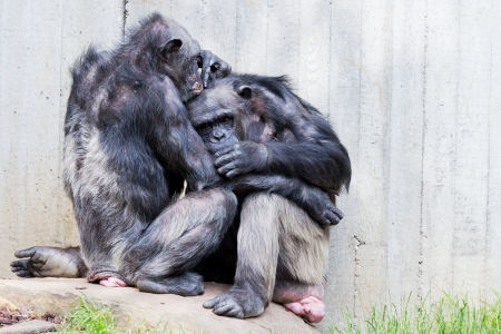 Two sitting chimps on a rock doing pair grooming photo