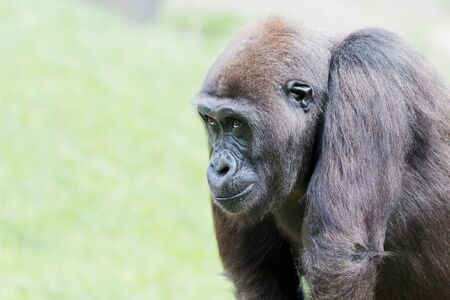 Closeup of a gorilla in front of a green background Stock Photo - 14897781