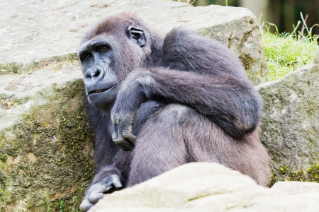 Closeup of a gorilla sitting between rocks Stock Photo - 14897838