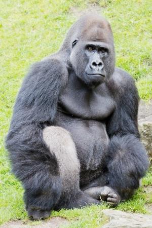 A sitting silverback gorilla looking vigilant