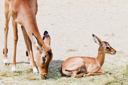 Junge liegend impala mit Mutter beim Essen im Sonnenlicht Standard-Bild - 14897673
