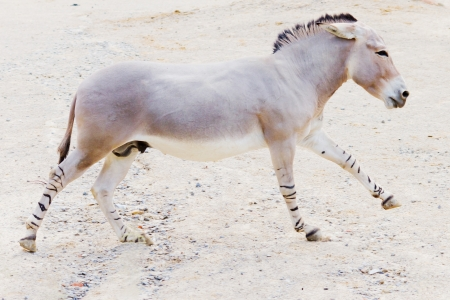 Closeup of a somali wild ass in motion Stock Photo