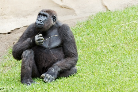Closeup of a sitting gorilla in the meadow photo