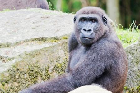 Closeup of a sitting gorilla between rocks looking curious photo