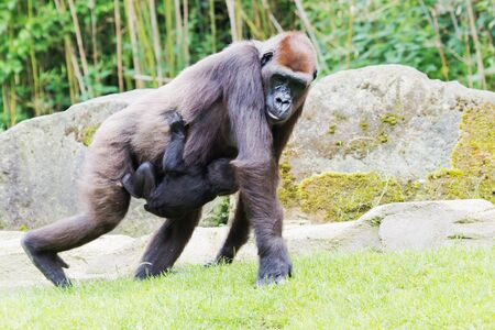Gorilla in motion carrying a baby in front of rocks photo
