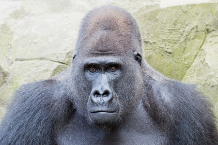 Portrait of a silverback gorilla looking curious Stock Photo
