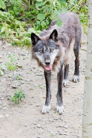 A wolf standing on a path looking curious Stock Photo - 14897724