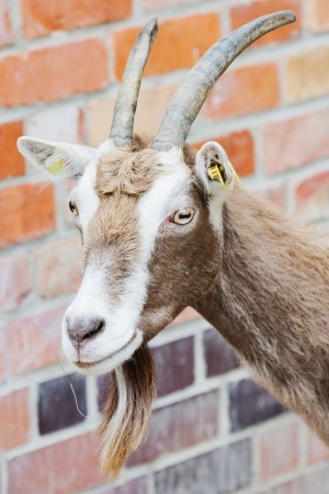 billy: Closeup of a billy goat with shallow depth of field Stock Photo