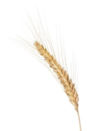 barley head: Closeup of a barley ear over a white background