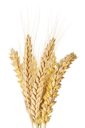 barley head: Closeup of wheat and barley ears over a white background
