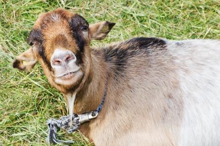 Portrait of a brown goat in front of a green meadow Standard-Bild