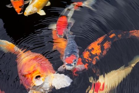Closeup of different colorful kois in a pond