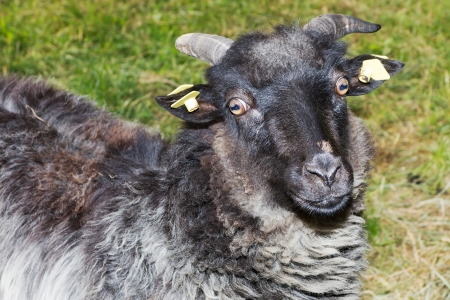 Portrait of a grey ram in the meadow