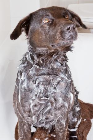 Portrait of a black dog in a bath tub during washing its fur